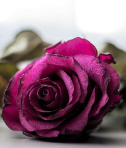 rose-2176248_1280